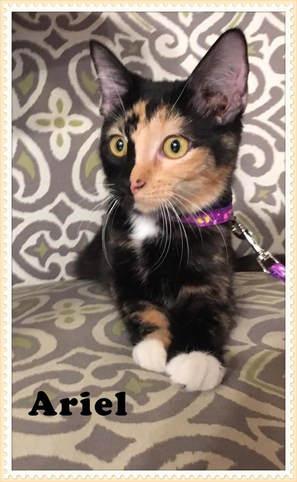 Persian kittens for sale in laredo texas